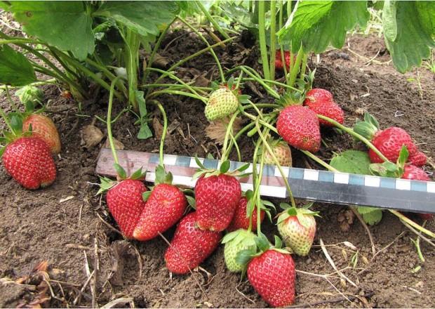 Выращивание-клубники-в-теплицах