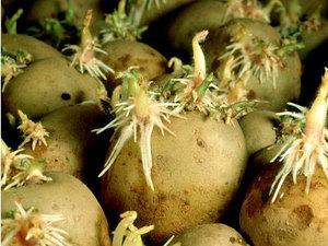 правильные-но-переросшие-ростки-на-семенной-картошке