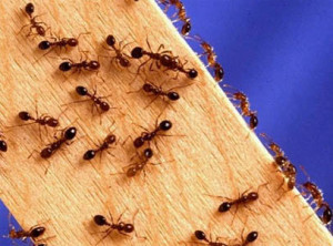 1324460288_get-rid-of-ants-in-house