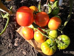 vkusniogorod, как вырастить помидоры без рассады (12)